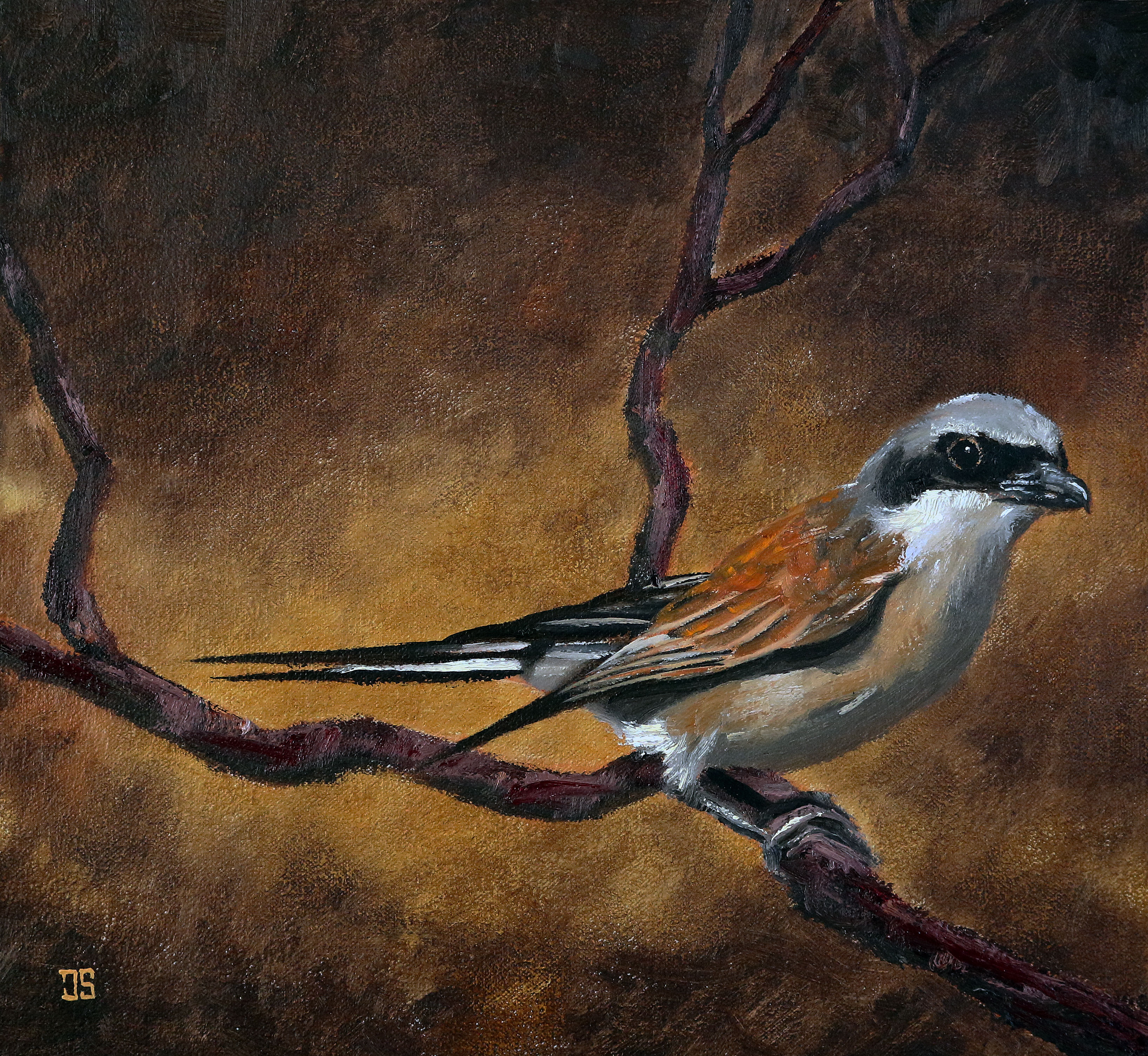 Oil painting of Red Backed Shrike by American artist Jeffrey Dale Starr